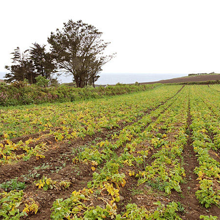 Champs de pommes de terre primeur au bord de la mer celtique en Bretagne © ABCfeminin.com.