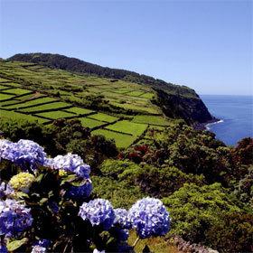 Hortensias sur l'île de Terceira aux Açores