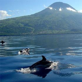 Dauphins aux Açores.