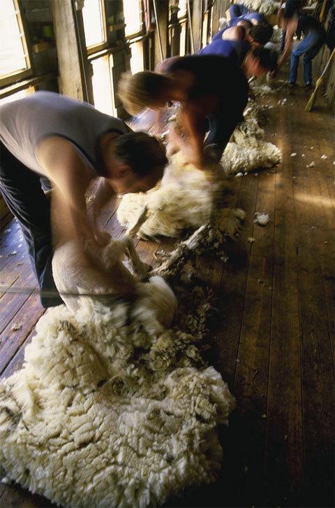 Tonde des moutons