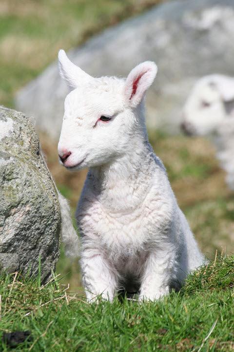 La fine et douce laine d'agneau.