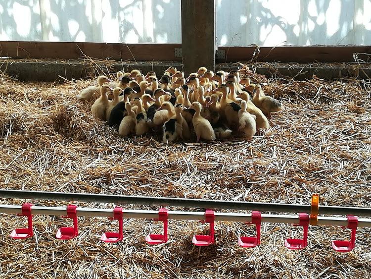 Élevage de canetons dans les Landes © ABCfeminin.com.