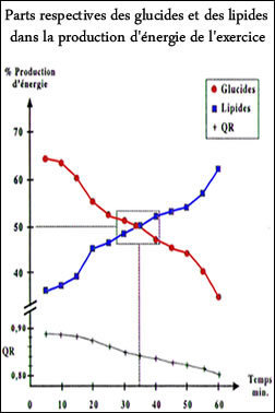 Parts respectives des glucides et des lipides dans la production d'énergie de l'exercice