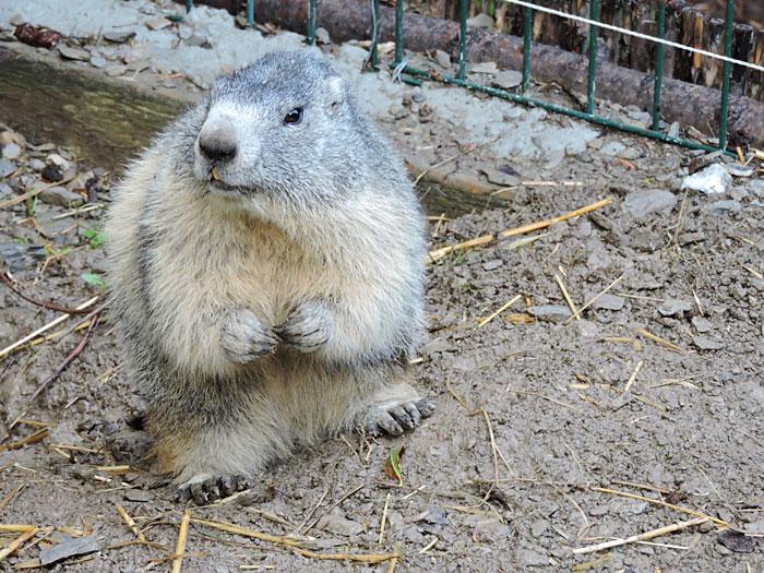 Une des marmottes de Toto à Chabanon en Haute-Provence © ABCfeminin.com.