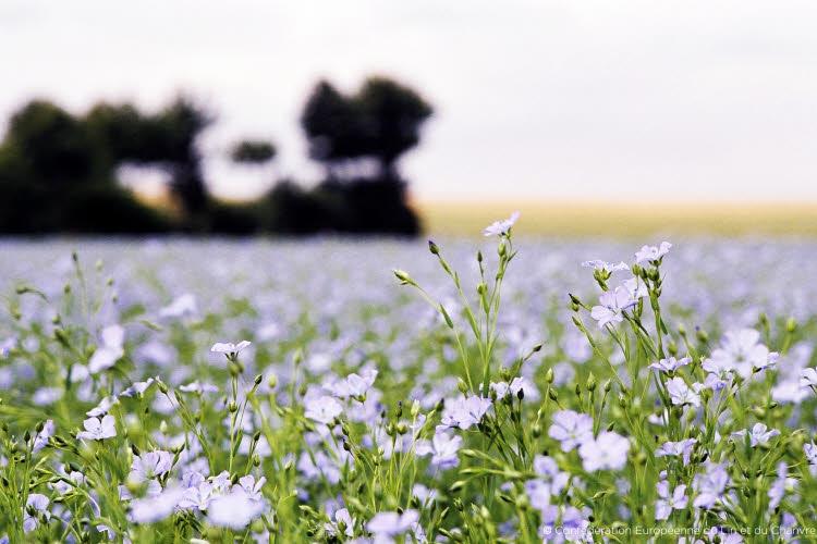 Photo : floraison de lin.