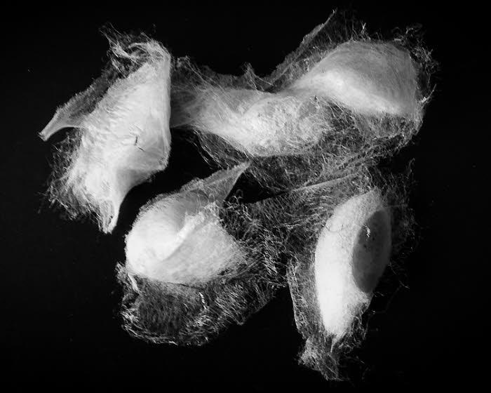 Cocons de Bombyx en vente à sur le site La Maison du Papillon.