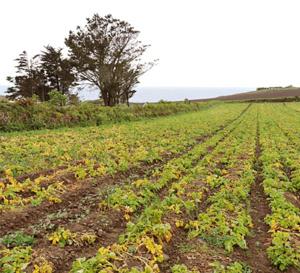 La primeur Prince de Bretagne, la plus chouchoutée des pommes de terre